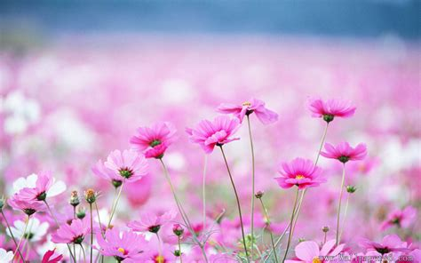 computer wallpaper of flowers flower field flower wallpapers free download
