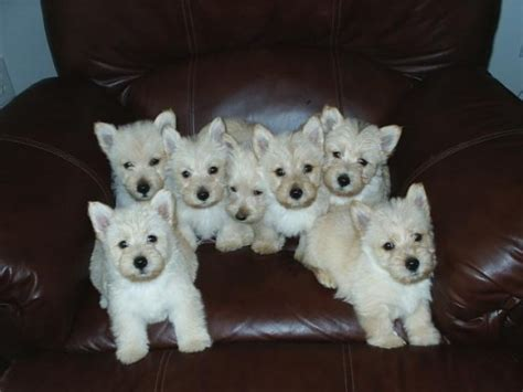 dogs for adoption ta scottish terrier sale singapore scottish terrier puppies buy buy scottish terrier