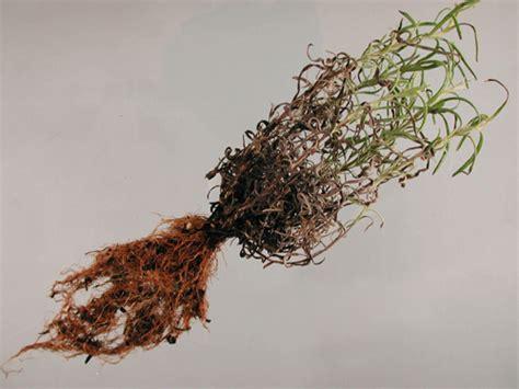 lavender plant diseases pictures lavender root rot pacific northwest pest management
