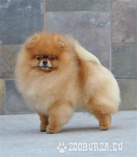 pomeranian teacup for sale in lebanon yorkie puppies for sale in nebraska breeds picture breeds picture