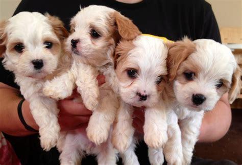beautiful puppies maltese x cavalier beautiful puppies crewe cheshire pets4homes