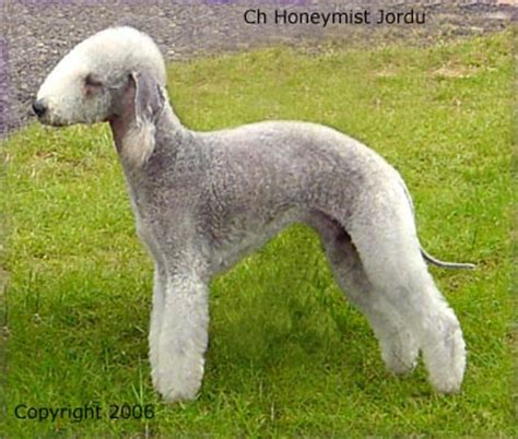 Best Price Rabbit Hutches Bedlington Terrier Or Rothbury Terrier Dog Breed Profile