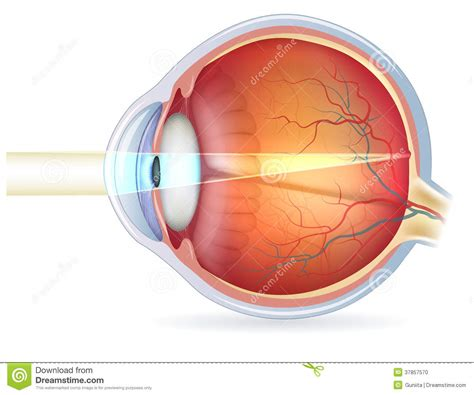 cross section of an eye human eye cross section normal vision stock photo image