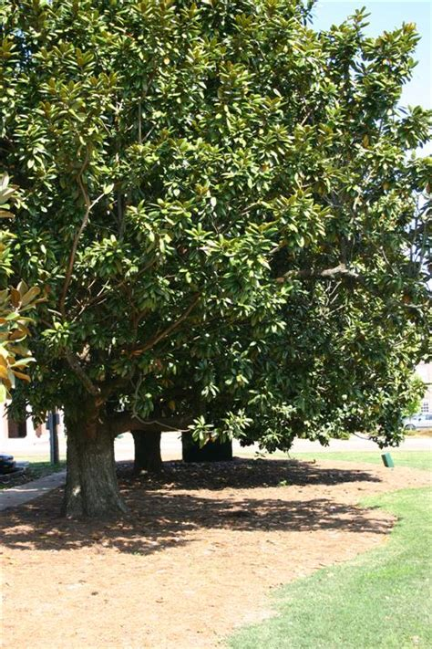 tree pictures types of magnolia tree with pictures facts about