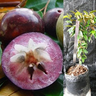 Bibit Bunga Allamanda Ungu kenitu ungu berbuah belibibit