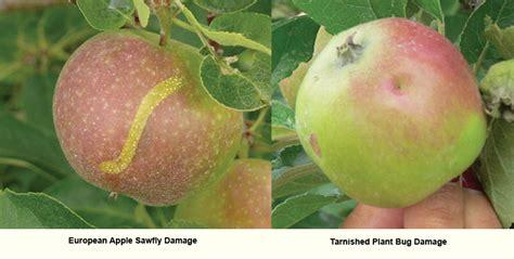 apple europe european apple sawfly ontario appleipm