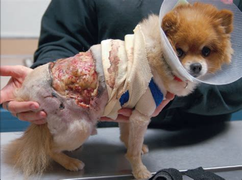 pomeranian therapy laser technology country care pet hospital