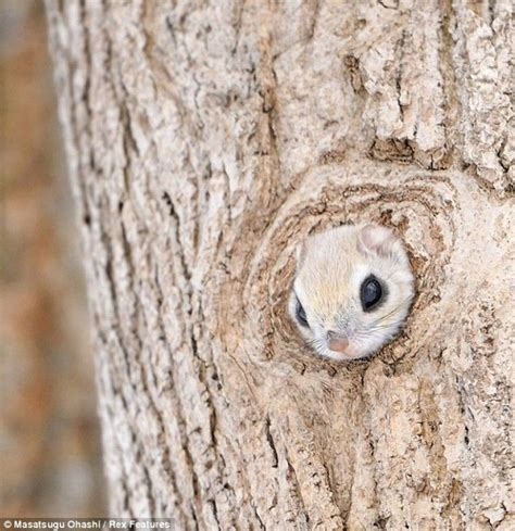 scoiattolo volante domestico японская летяга или малая летяга лат pteromys momonga
