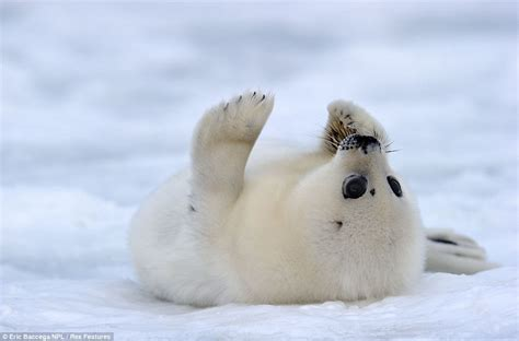 baby seal pup what an smile adorable two week seal pups show