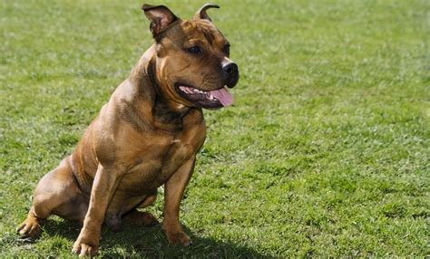 Staffy Shedding by Key Traits That Define The Personality Of A Pit Bull Lab Mix