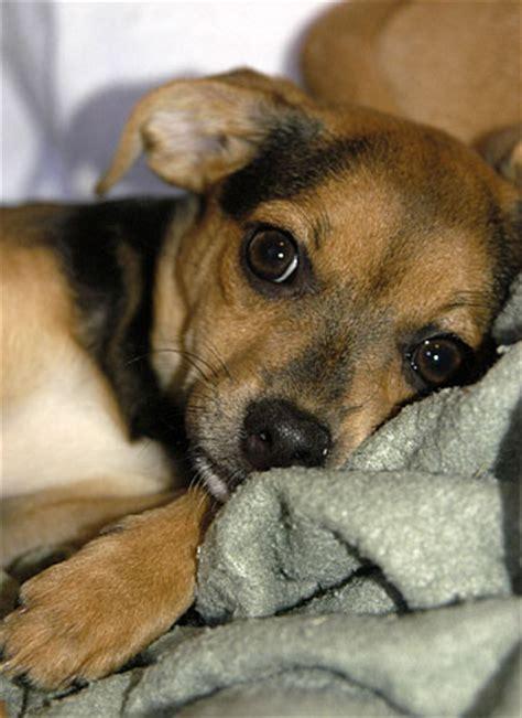 chihuahua beagle pug mix beagle chihuahua mix breeds picture