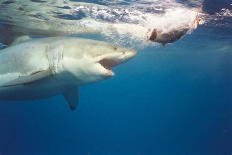 imagenes leones vs tiburones las mejores fotos de tiburones taringa