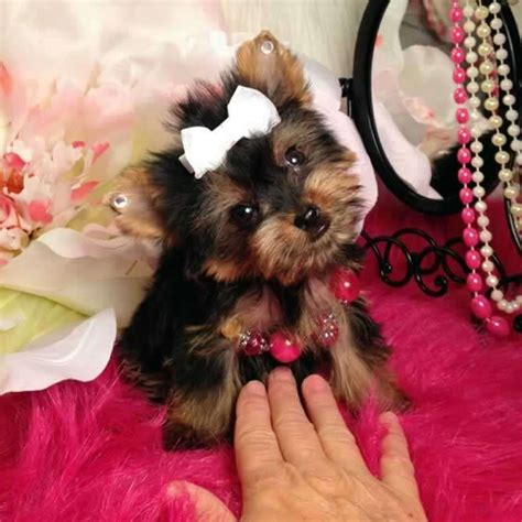 yorkie tiny teacup puppies for sale yorkies for sale purchase teacup terrier puppy tiny trisha