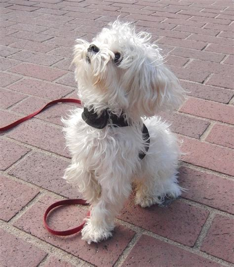 how big do shih tzu dogs get how big do maltese dogs get breeds picture