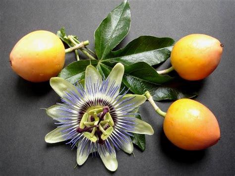 fiore della bellezza fiore della passione passiflora passiflora