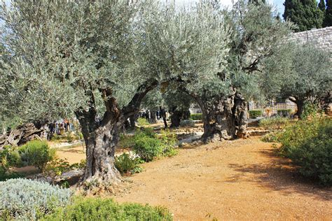 fileold olive trees   garden  gethsemane jpg