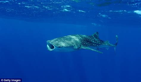 baby shark bahasa indonesia diver in indonesia begs for life of a whale shark caught