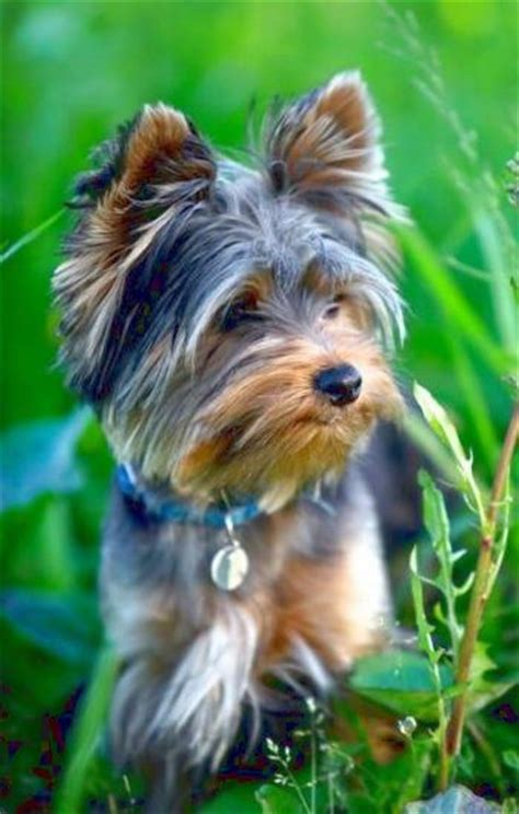 how do yorkies stay 17 best ideas about yorkie hairstyles on boo puppy terrier