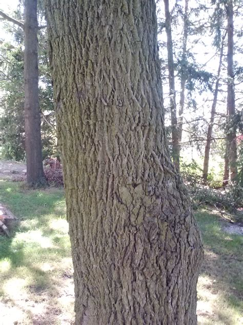 michigan tree experts trying to get leg up on walnut tree disease before