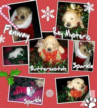golden retriever puppies for sale ma golden retriever puppies for sale in taunton massachusetts classified