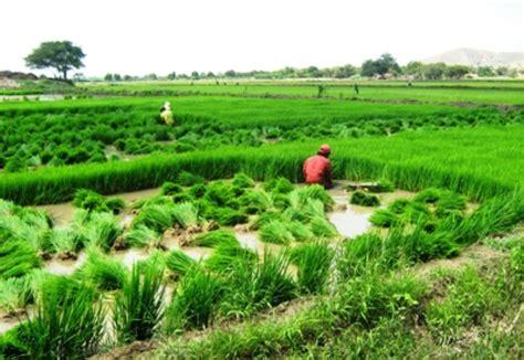 cadena productiva arroz impulsar 225 n competitividad de la cadena productiva del