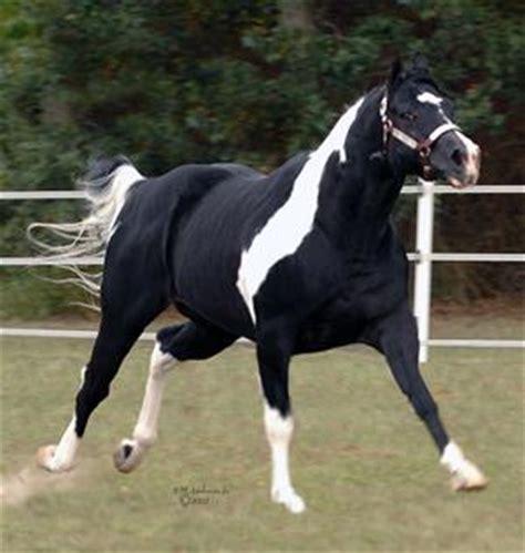 black rock star, american paint horse association stallion