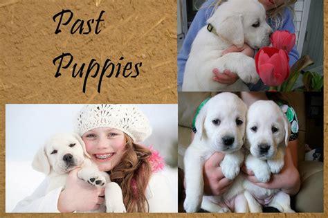 black lab puppies for sale in va chocolate lab puppies for sale in va