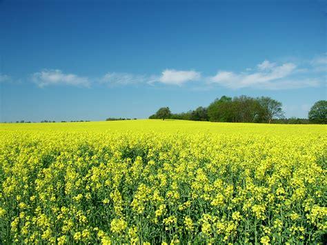 free rape section file rapeseed field in baalborn germany jpg wikimedia