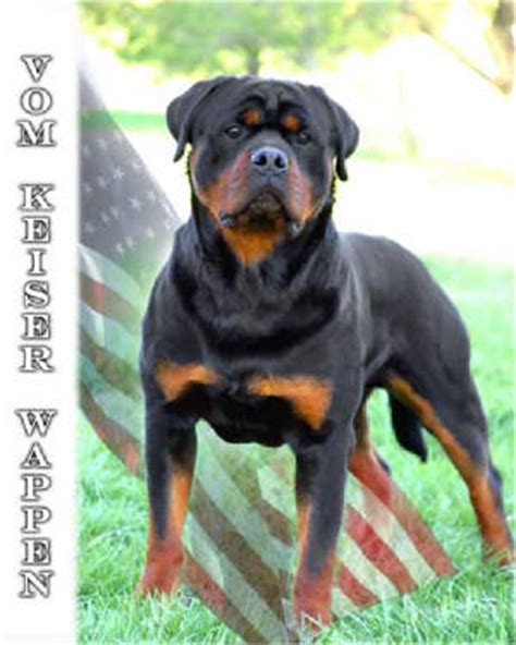 rottweilers for sale in houston top pasha earl antonius images for tattoos