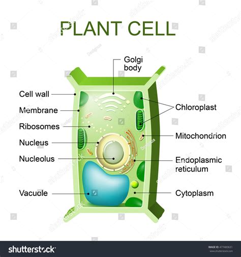 cross section of an plant cell plant cell anatomy cross section plant stock vector