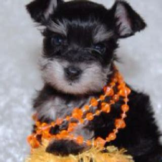teacup schnauzer puppies 17 best ideas about teacup schnauzer on miniature schnauzer mini