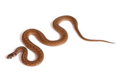 Ransel Kitkat groen ransel slang tegen witte achtergrond stock