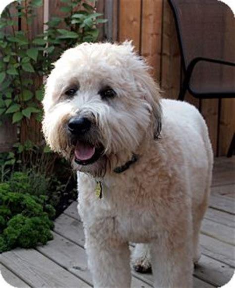 cutting a terrier cross rigaud qc wheaten terrier meet maggie a dog for adoption