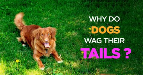 why do dogs their why do dogs wag their tails the science s wagging