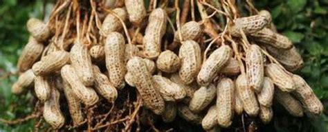 menanam kacang tanah pengertian ciri ciri