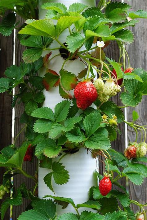 how to grow strawberries in a pvc pipe gardens planters