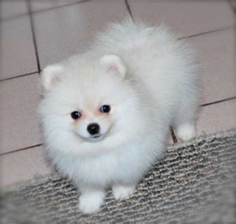 kansas city free pomeranian puppies pets kansas city ks free classified ads