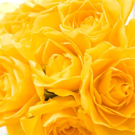free wallpaper yellow roses free wallpapers for ipad yellow roses
