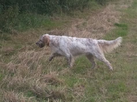 english setter dog for sale english setter dog for sale sale greater manchester