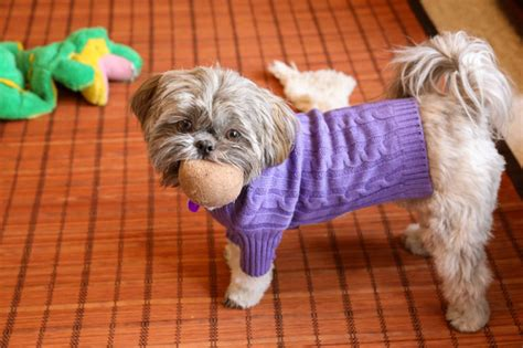 how to teach a shih tzu tricks how to your shih tzu 1001doggy