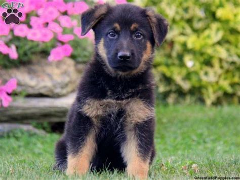 puppies for sale lancaster pa skylar german shepherd puppy for sale in lancaster pa animals