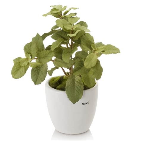 mint herb plant in ceramic planter