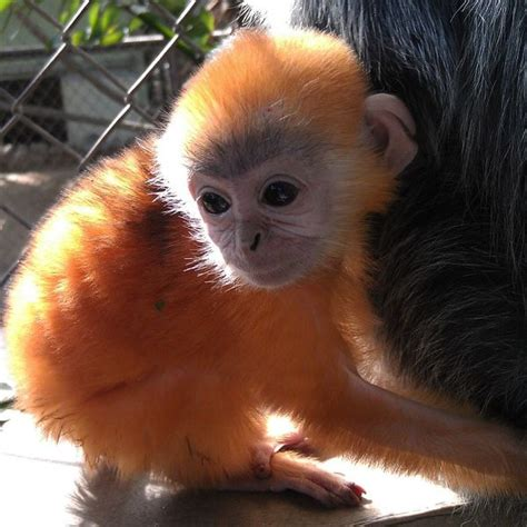 born ginger meaning seeing double second little ginger haired langur baby