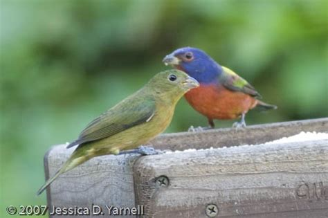 painted bunting guide to central florida birds
