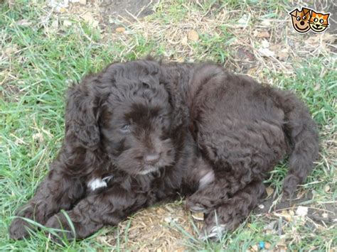 yankee doodle puppies for sale chocolate cockapoo yankeedoodle puppy portsmouth