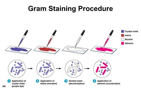 gram staining procedure in flowchart tools of the laboratory the microscope ppt