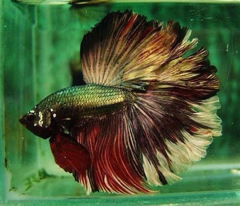 47 Best Images About Beta 47 best fishes fancy bettas images on beautiful fish fish tanks and aquarium fish