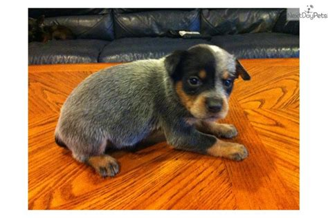 blue heeler mix puppies for sale australian shepherd blue heeler mix puppies for sale 807jpg breeds picture