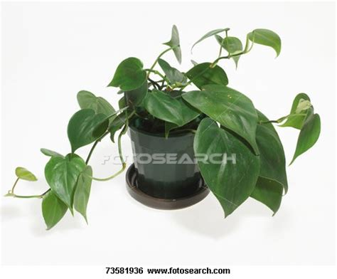 vine house plants how to identify types of house plants ehow uk