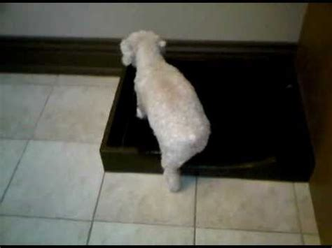 how to toilet a indoors toilet for small dogs doovi